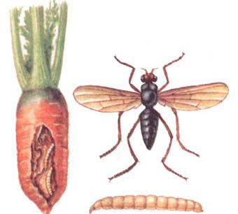 Перцовый душ — для морковной мухи