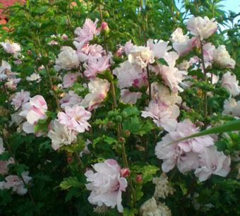 Многолетние садовые цветы названия и
