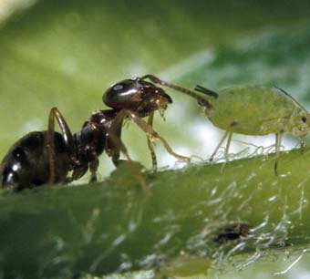 Нет муравейников –  не будет и тли