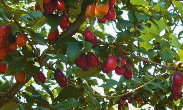 «Шайтанова ягода» и накормит, и вылечит