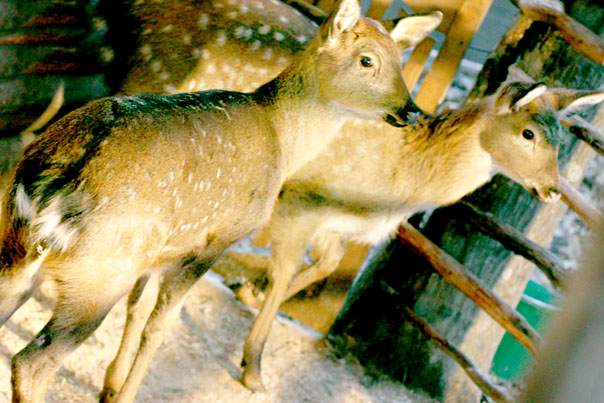 Ставропольские дети дали имена пятнистым оленятам