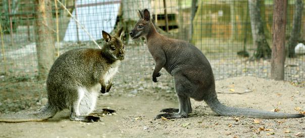 Валентинка для кенгуру