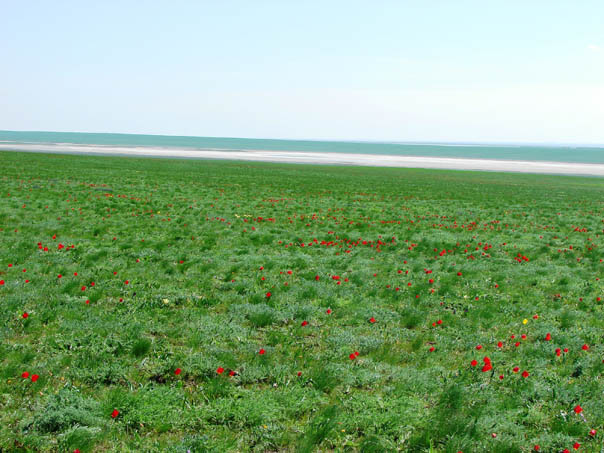 Тюльпаны Маныча