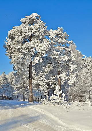 Хвойные леса – беспомощные деревья...