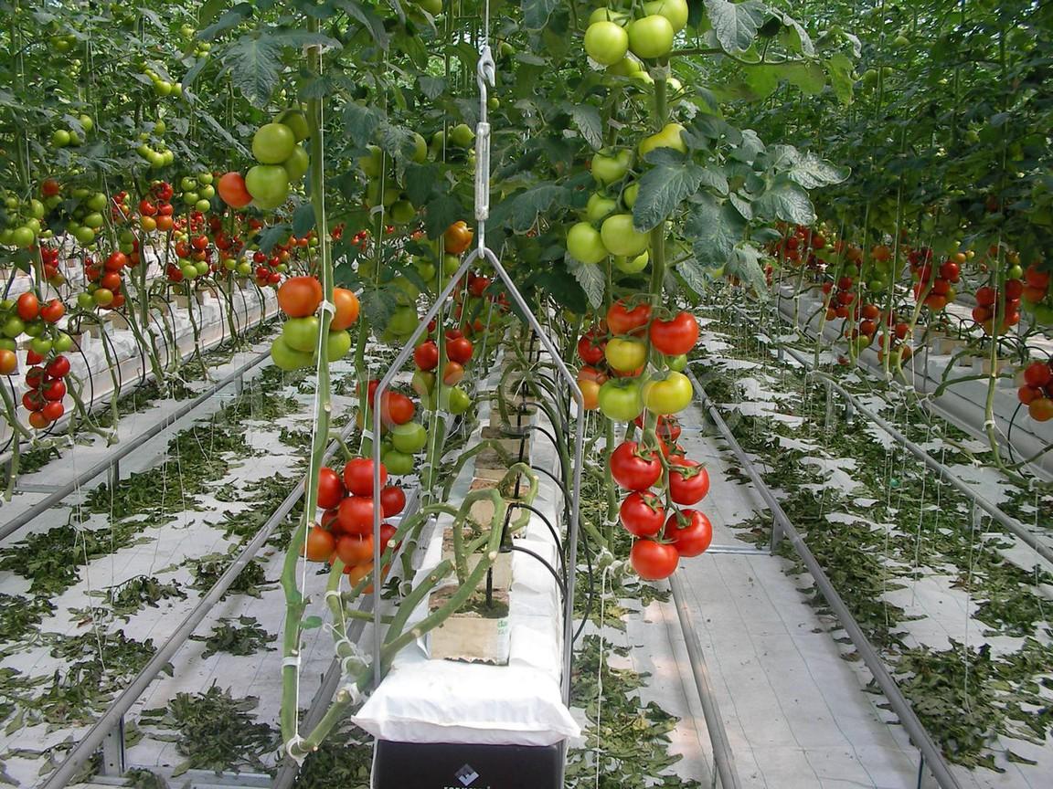 Теплицы для выращивания помидоров зимой 354