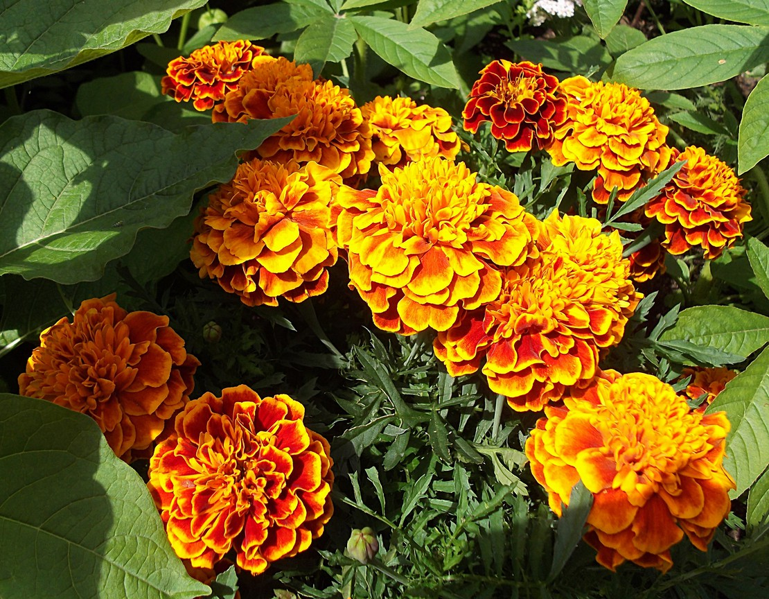 Цветки бархатцы