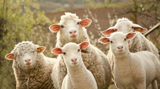 НаСтаврополье пастух похитил 40 овец